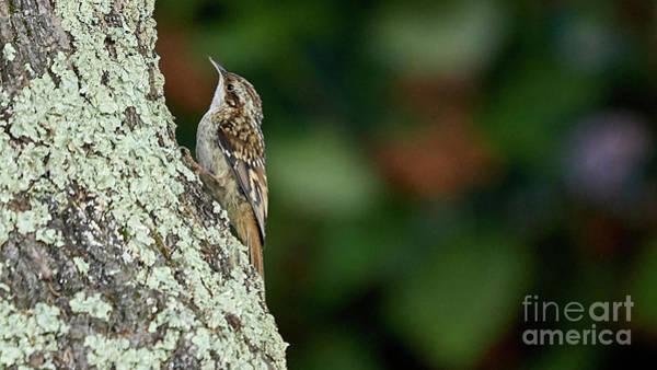 Photograph - Short-toed Treecreeper Certhia Brachydactyla O Seixo Mugardos Galicia Spain by Pablo Avanzini