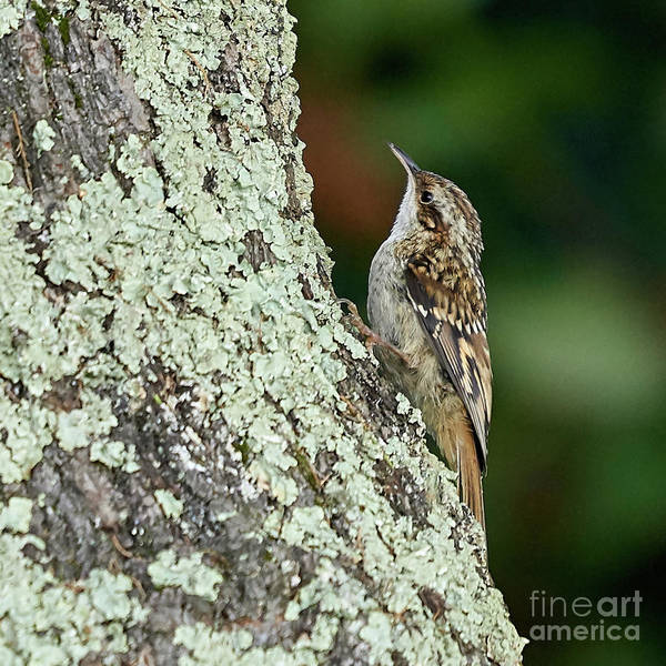 Photograph - Short-toed Treecreeper Certhia Brachydactyla by Pablo Avanzini