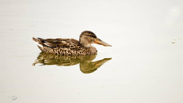 Photograph - Shoveler The Beautiful Young One by Torbjorn Swenelius