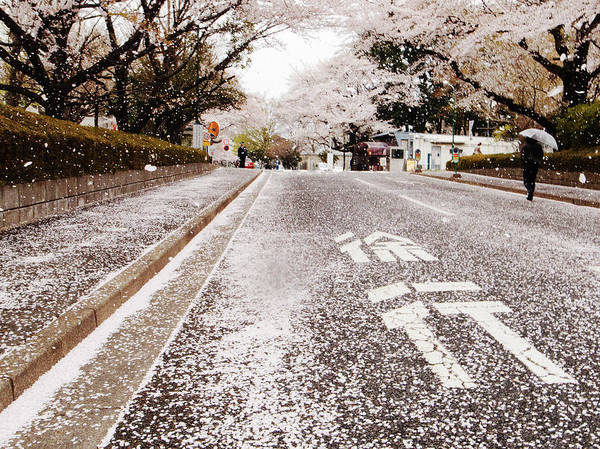 One Way Road Photograph - Shower Of Cherry Blossoms by By Joanne Yu