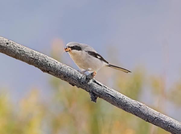 Photograph - Shrike-1 Bug-0 by Loree Johnson