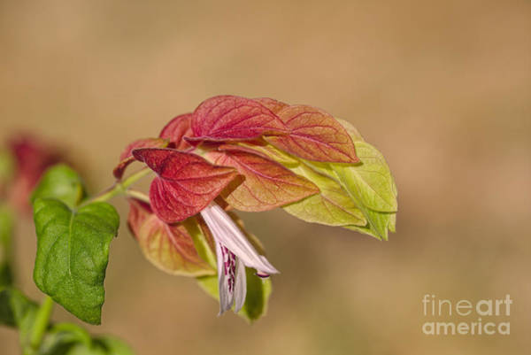 Photograph - Shrimp Plant In Flower  by Joy Watson