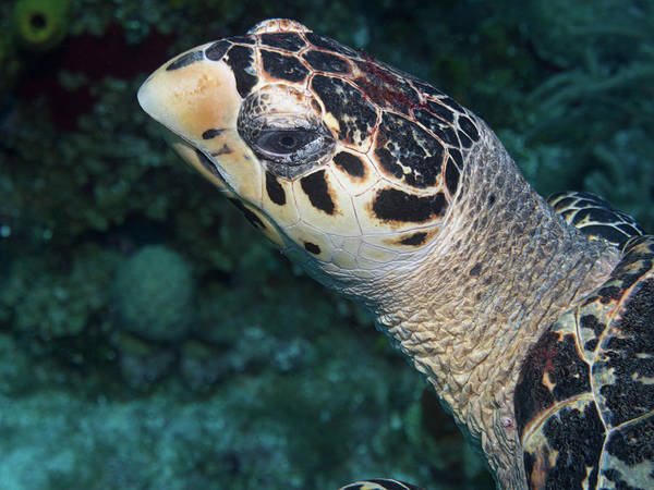 Photograph - Shy Hawksbill Turtle by Jean Noren
