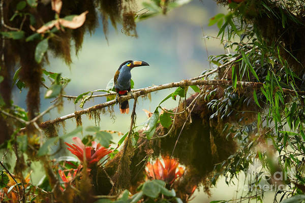 Rain Forest Wall Art - Photograph - Shy High Altitude Andean Colorful by Martin Mecnarowski