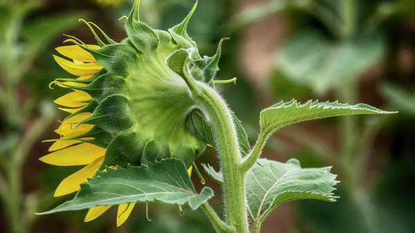 Wall Art - Photograph - Shy Sunflower  by Stephen Stookey