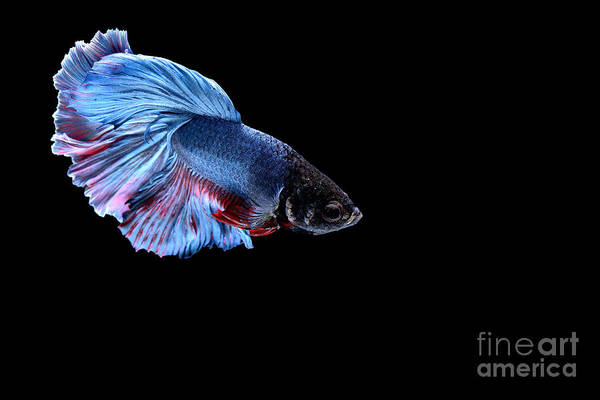 Wall Art - Photograph - Siamese Fighting Fish by Bausriyosthiya