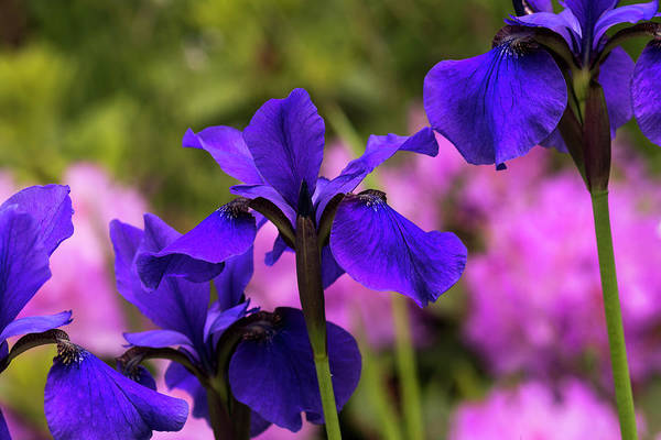 Photograph - Siberian Iris And Rhododendron by Robert Potts
