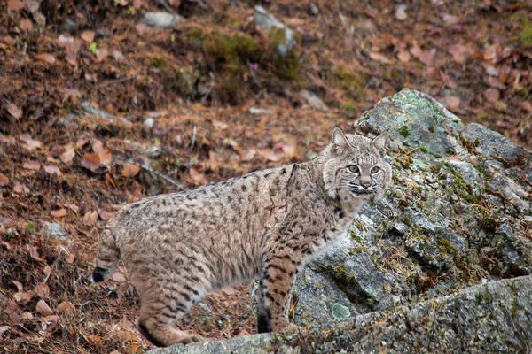 Photograph - Siberian Lynx Kitten - 2470 by Teresa Wilson