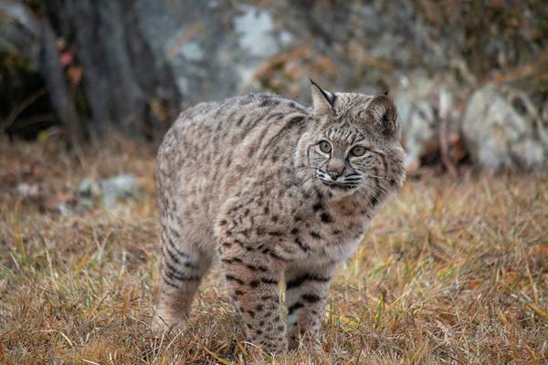 Photograph - Siberian Lynx Kitten 2478 by Teresa Wilson