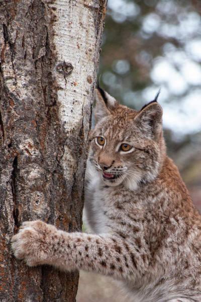 Photograph - Siberian Lynx Kitten 2877 by Teresa Wilson