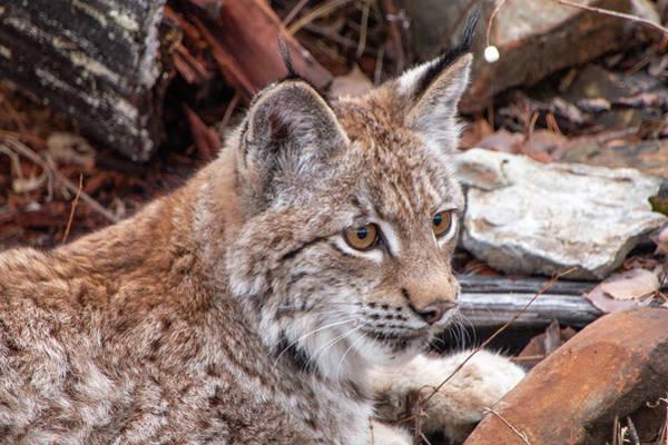 Photograph - Siberian Lynx Kitten 2889 by Teresa Wilson