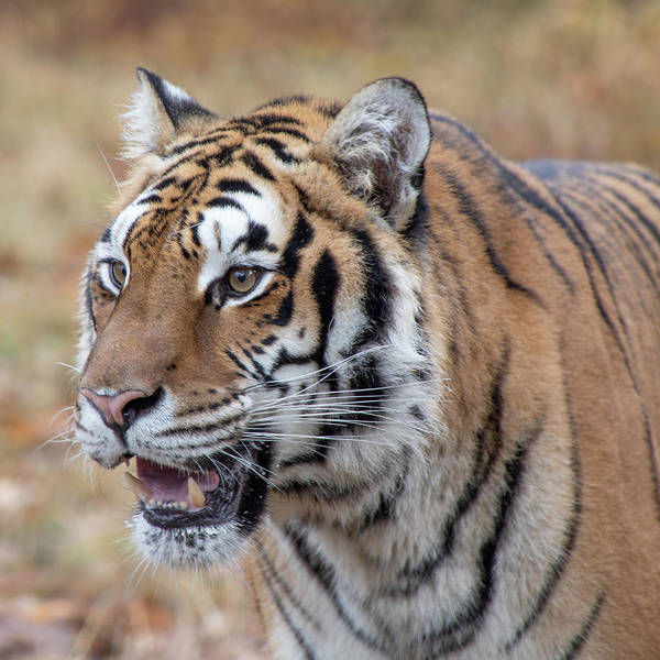 Photograph - Siberian Tiger -8383 By Tl Wilson Photography by Teresa Wilson