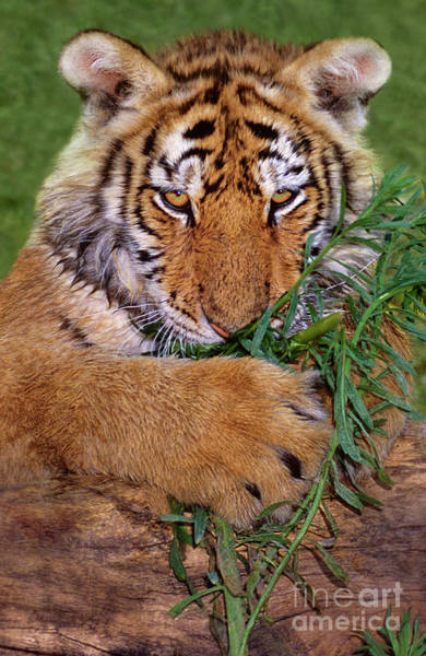 Photograph - Siberian Tiger Cub Endangered Species Wildlife Rescue by Dave Welling
