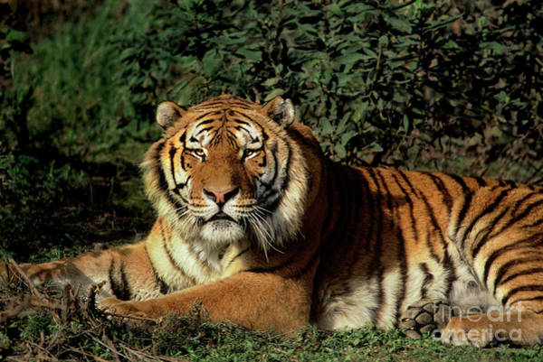 Photograph - Siberian Tiger Endangered Species Wildlife Rescue by Dave Welling