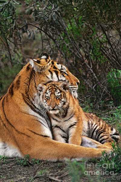 Photograph - Siberian Tiger Mother And Cub Endangered Species Wildlife Rescue by Dave Welling
