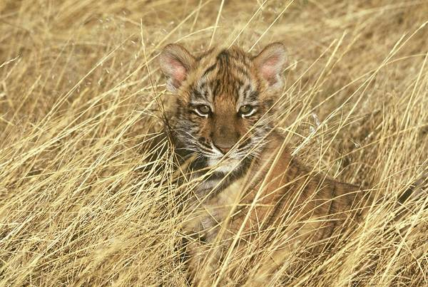 Hiding Photograph - Siberian Tiger Panthera Tigris Altaica by Oxford Scientific / Photolibrary