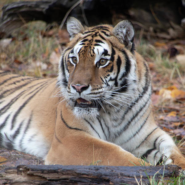 Photograph - Siberian Tiger Portrait Square By Tl Wilson Photography by Teresa Wilson