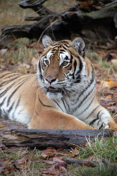 Photograph - Siberian Tiger Portrait Vertical By Tl Wilson Photography  by Teresa Wilson