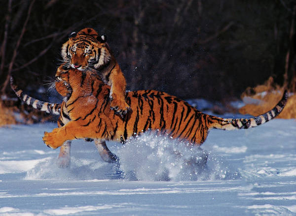 Housing Photograph - Siberian Tigers Panthera Tigris Altaica by Gary Vestal