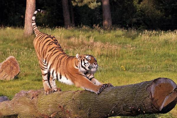 Photograph - Siberian Tiger,siberian Tiger Standing On A Tree Trunk by Eye to Eye Xperience