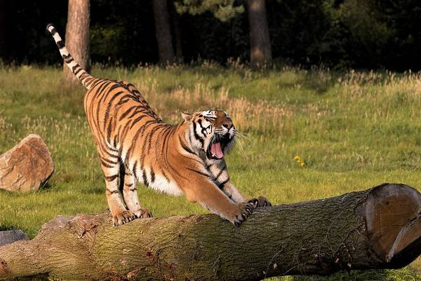 Photograph - Siberian Tiger,siberian Tiger Standing On A Tree Trunk Yawning by Eye to Eye Xperience