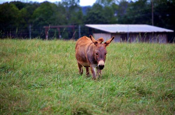 Photograph - Sicilian Donkey by Cynthia Guinn