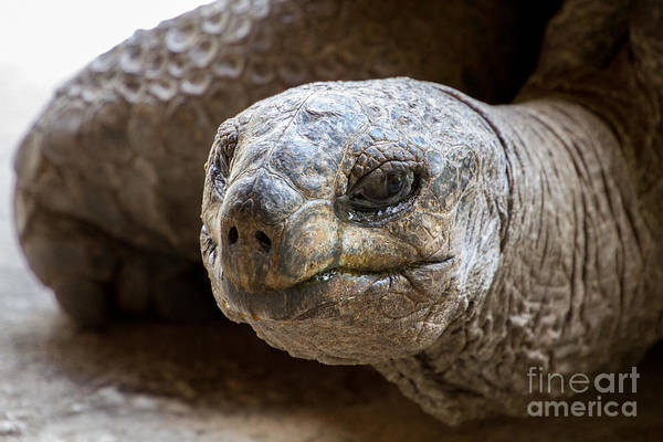 Wall Art - Photograph - Side Portrait Of Native Aldabra Giant by Mr Lemon