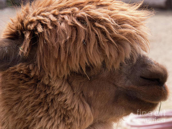 Photograph - Side Profile Brown Alpaca by Christy Garavetto