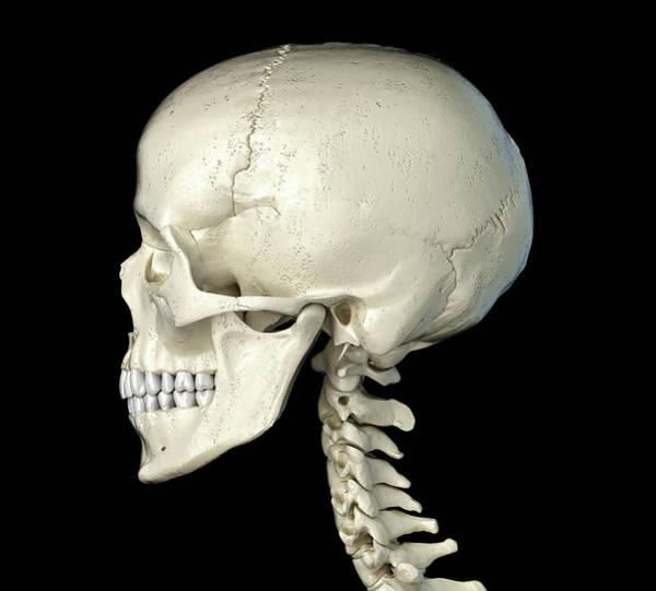Wall Art - Photograph - Side Profile Of The Human Skull by Leonello Calvetti