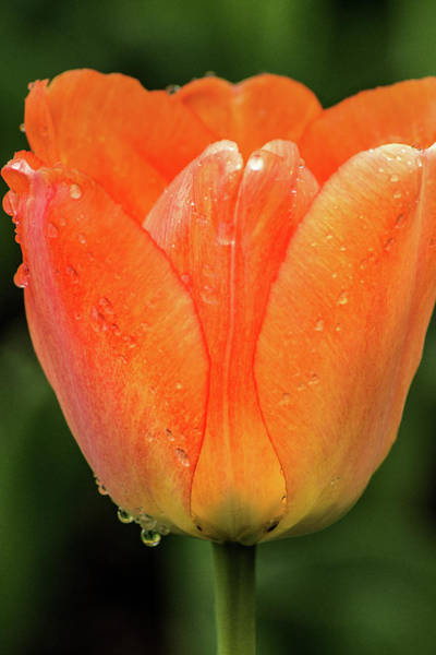 Photograph - Side View Tulip by Don Johnson