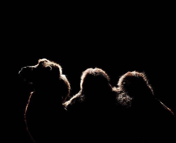 Endurance Wall Art - Photograph - Sideview Of Camel by Henrik Sorensen