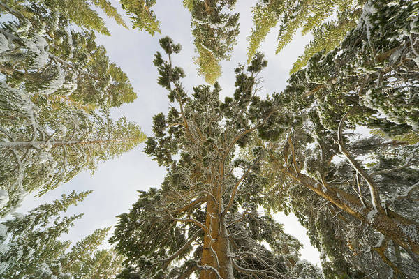 Pine Grove Photograph - Sierra Lodgepole Pines In Snow by Eastcott Momatiuk