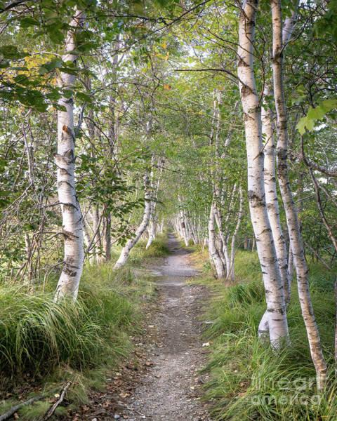 Wall Art - Photograph - Sieur De Mont Springs Birch Path by Benjamin Williamson