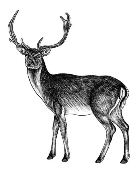 Antlers Drawing - Sika Deer Stag - Ink Illustration by Loren Dowding