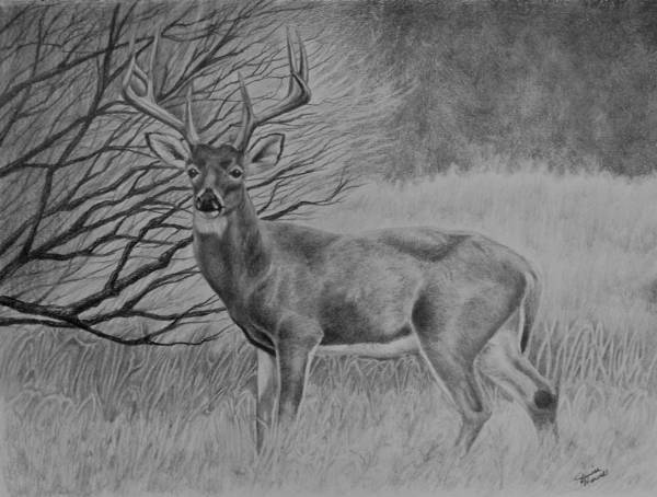 White Tailed Deer Drawing - Silent Majesty by Janice Howell