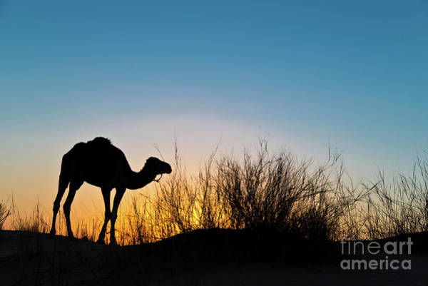 Wall Art - Photograph - Silhouette Of A Camel At Sunset by Delphimages Photo Creations