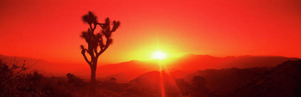 Wall Art - Photograph - Silhouette Of A Joshua Tree At Dusk by Panoramic Images
