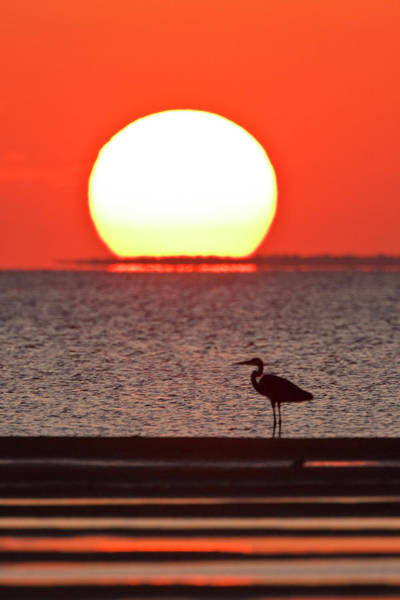 Low Tides Photograph - Silhouette Of Great Blue Heron Ardea by Danita Delimont
