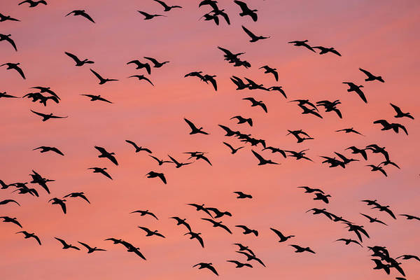 Wall Art - Photograph - Silhouette Of Snow Geese Chen by Panoramic Images