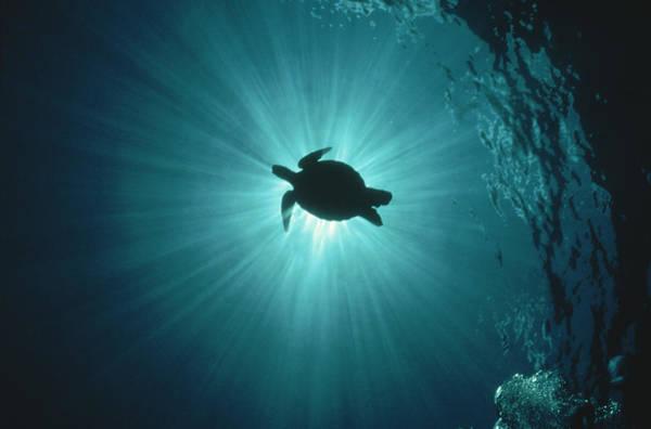 Underwater Photograph - Silhouette Of Underwater Sea Turtle by Erik Stein
