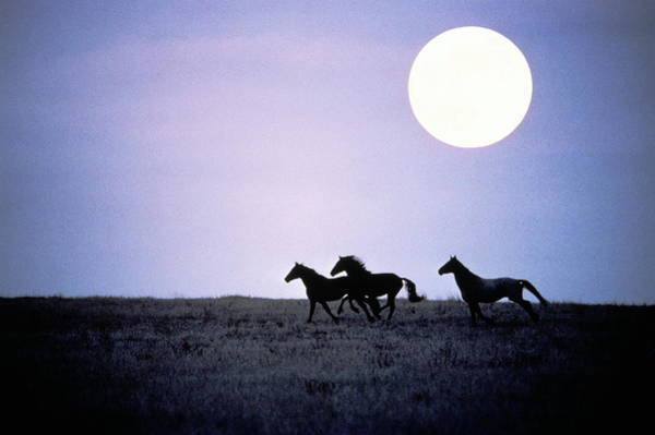 North Dakota Photograph - Silhouette Of Wild Horses Running In by Jake Rajs
