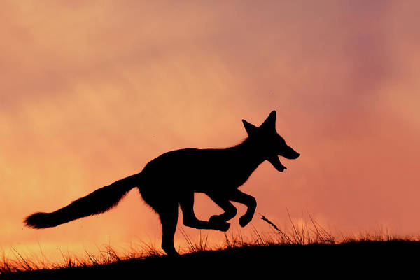 Wall Art - Photograph - Silhouette Series - Happy Fox by Roeselien Raimond