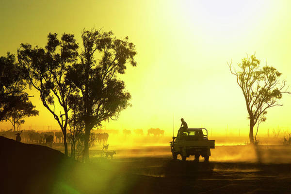 Dust Photograph - Silhouetted Cattle Muster At Sunset by Johnny Haglund