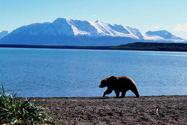 Wall Art - Photograph - Silhouetted Grizzly Bear Walking Near by D. Robert Franz