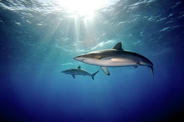 Undersea Photograph - Silky Sharks by James R.d. Scott