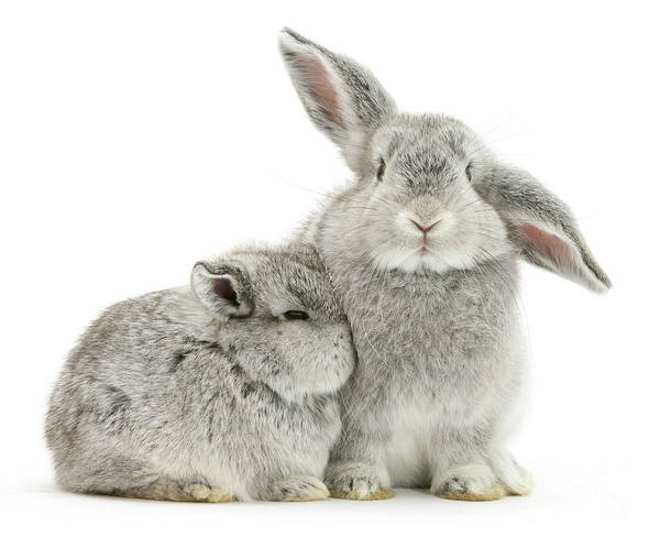Photograph - Silver Love Bunnies by Warren Photographic