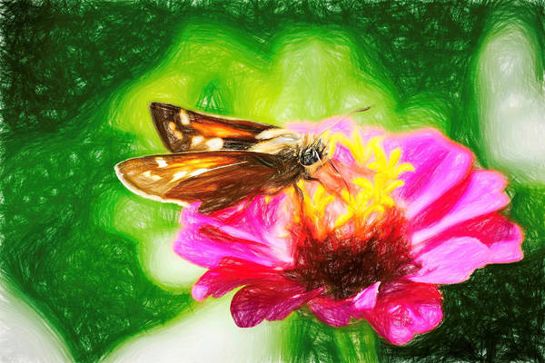 Photograph - Silver Spotted Skipper Butterfly Colored Pencil by Don Northup