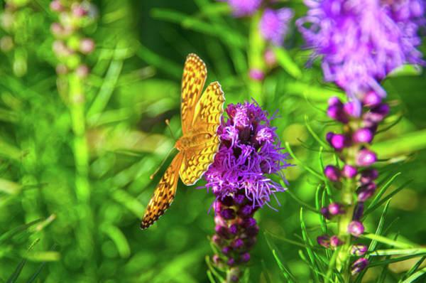 Liatris Spicata Photograph - Silver-washed Fritillary Butterfly On A Liatris Spicata Purple Flower by Susan Boehnlein