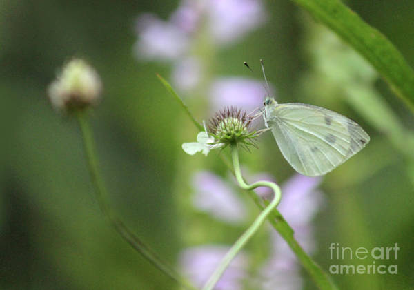 Photograph - Simple Cabbage White Butterfly by Karen Adams