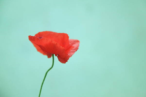 Fragility Photograph - Simple Red Poppy On Turquoise Blue by Poppy Thomas-hill